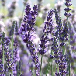 Lavandula angustifolia 'Elizabeth' - lavendel, 75 cm hoog. Bijzonder grootbloemige met een dikke volle aar. Snel groeiend en sterk geurend. Fantastisch van kleur. Als 'Silver Blue' maar dan met wat vollere aren, even lang bloeiend. Bijzonder rijk aan etherische olie, zeer geschikt om te drogen. Met veel spektakel op Chelsea 2007 geïntroduceerd door onze lavendelvriend Simon Charlesworth.