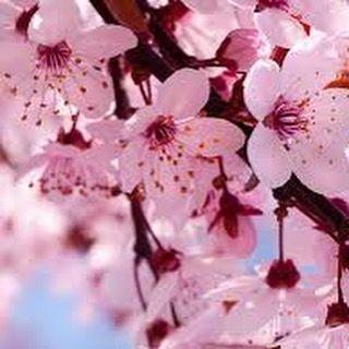"""""""El Festival del Sakura marca cada año el inicio de la primavera y simboliza al mismo tiempo la fragilidad de la existencia humana porque una vez brotado las flores sólo viven dos semanas antes de deshojarse. Hermosa tradición Dice la tradición que en la época de los samuráis al partir el guerrero de su hogar se sembraba una planta de sakura.  Si el samurái moría en batalla -explica Reyes- su esposa quien tenía el mismo honor lealtad y espíritu guerrero que los propios samuráis en señal de…"""