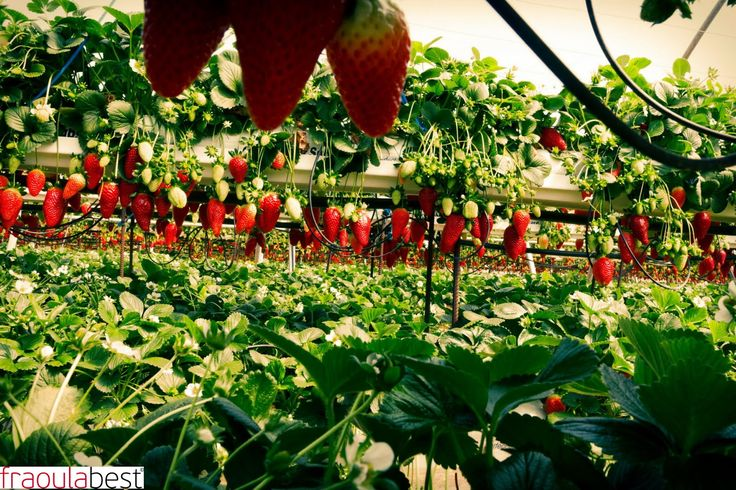 FraoulaBest System in Cyprus | FraoulaBest© System (Hydroponic Strawberry)