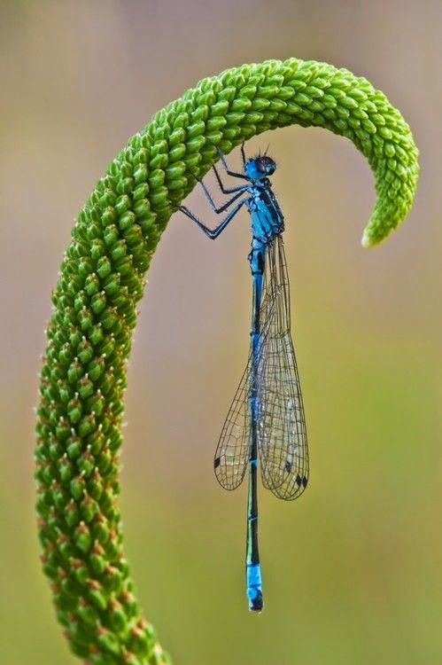 Not posetive but I'm pretty sure this isn't a dragonfly bit actually a damselfly. Damselflies are thinner and told to hold their parallel against the body. They are basically dragonflies but more dainty.