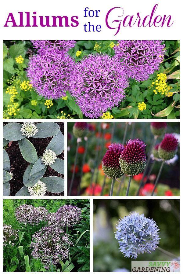 Alliums For The Garden The Best Long Blooming Allium Varieties Garden Bulbs Spring Flowering Bulbs Planting Bulbs