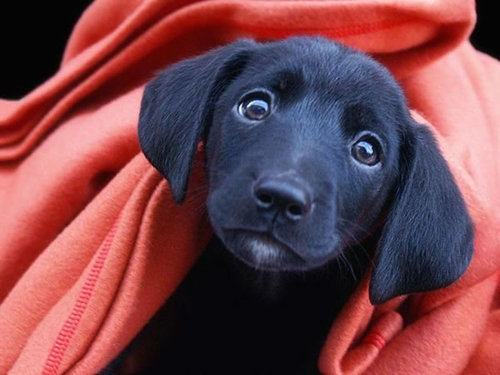 the word curiosity, for me, invokes a sense of mischief, innocence, and being present... take it for what it is..: Puppies Faces, Little Puppies, Animal Photo, Black Dogs, Puppies Dogs Eye, Puppies Eye, Labs Puppies, Black Labs, Labrador Dogs
