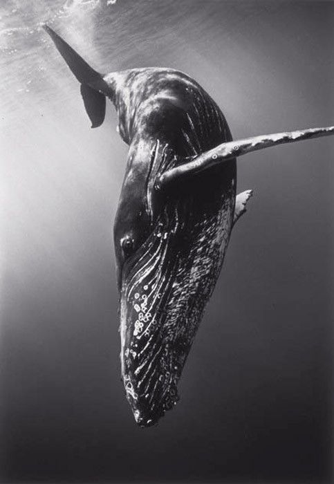 whale :)Whales Watches, Nature, The Ocean, Humpback Whales, Sea, Diving, Photography, Beautiful Creatures, Animal