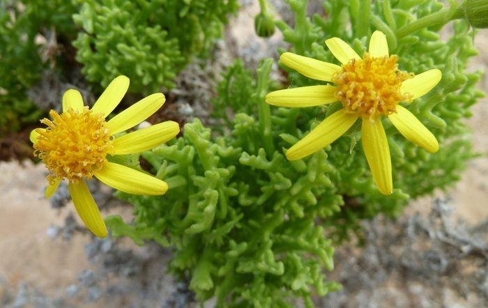Bailahuén es una hierba natural de nobles virtudes medicinales. Su especialidad: alivio de molestias estomacales. Pero hay más usos. ¡Descúbrelos!.