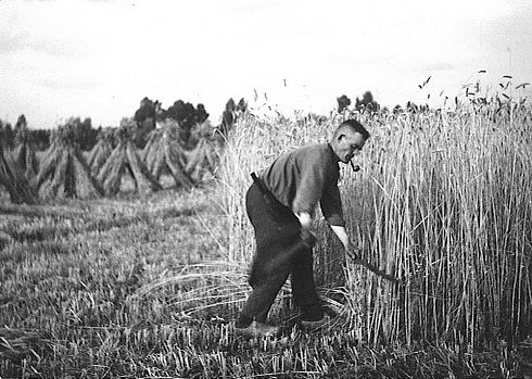 harvesting with the scythe