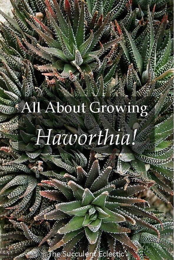 Species Spotlight Haworthia Exceptional Indoor Succulent