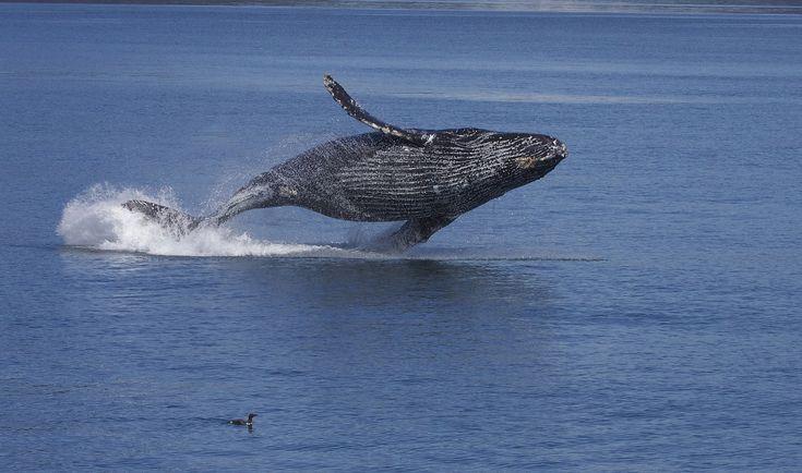 Le Costa Rica est le lieu idéal pour l'observation des baleines ou whale watching. Infos pratiques sur les lieux, périodes et espèces à observer
