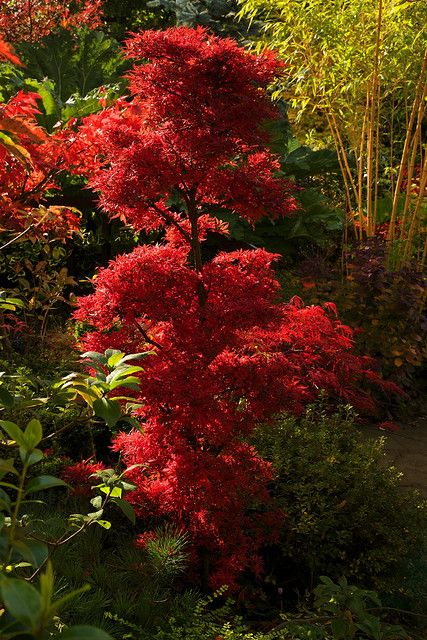 Autumn Acer palmatum 'Shaina'.     This acer has an unusual dwarf, bushy, tufted habit and beautiful small leaves. The leaves of 'Shaina' are the same dark red all summer, but when autumn arrives the colour turns a luminescent shade of crimson-red. Beautiful, I love it!!