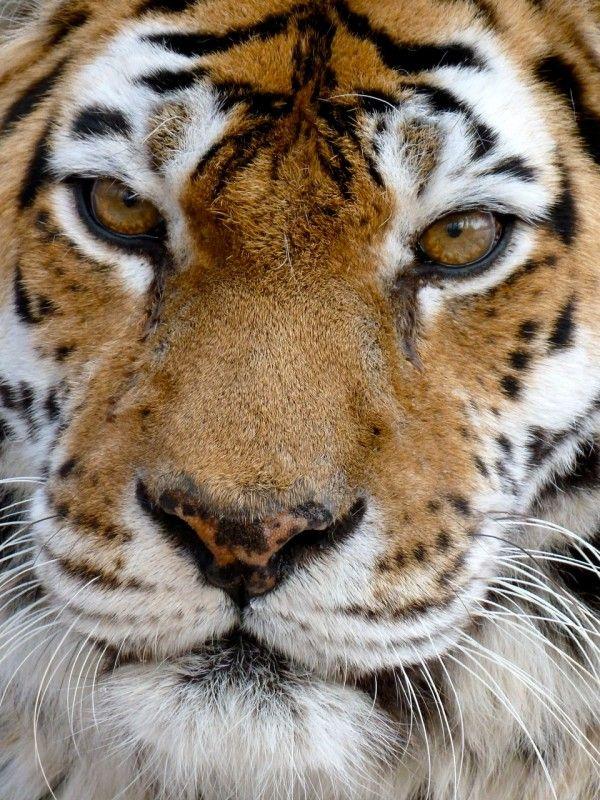 """BengalTiger """"Einer der gefangenen Tiger, die wir gleich zu Beginn des Films gefilmt haben …  – Wonderful Wildlife!"""