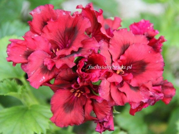 807 Pelargonia Dark Secret