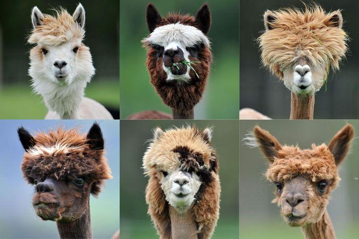 Freshly shaved alpacas are seen at Alpaca-Land farm, in Goeming in the Austrian province of SalzburgPicture: Kerstin Joensson/AP
