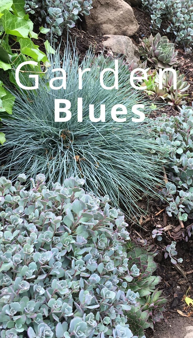 Beautiful blue perennials add a different kind of color to the landscape. Sedum cauticola is the small leaved plant. There are also Hens and Chicks, along with Blue Fescue grass. All are drought tolerant too!