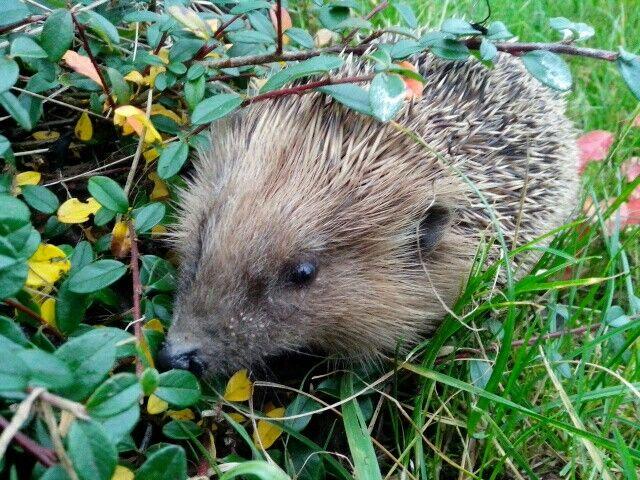 Jezek na prochajde #hedgehog