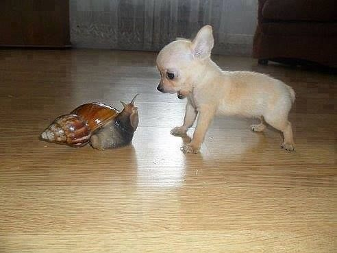 Unlikely friendship with the Chihuahua and the Snail.