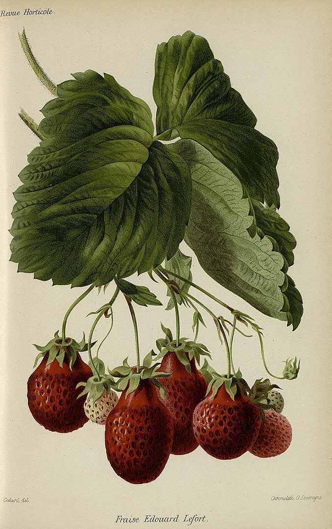 314778 Fragaria vesca L. var. Edouard Lefort / Revue horticole, serié 4, vol. 62: (1890) [Godard]