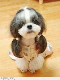 Do you like my hairstyle?Little Girls, Puppies, Funny Dogs, Cutest Dogs, New Hair, Shihtzu, Shih Tzu, Ponies Tail, Animal