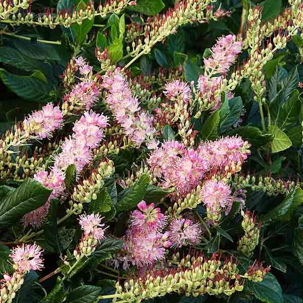 17 Best Images About Summer Scented Shrubs On Pinterest