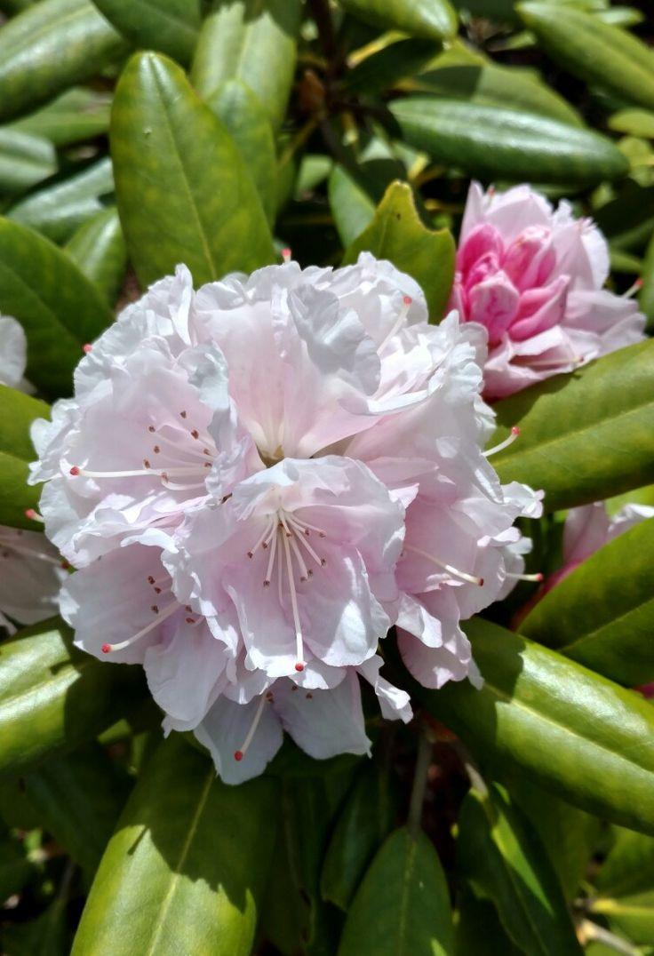 Rhododendron in my garden.