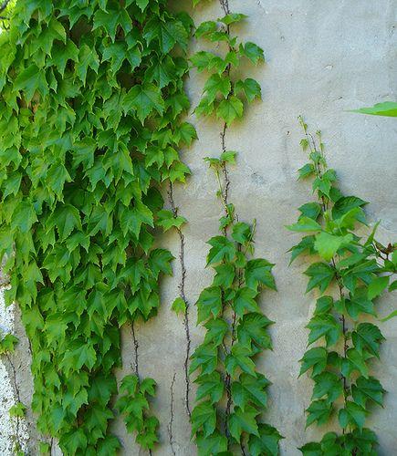 La Ampelopsis es una planta que pertenece a la familia de las Vitáceas, género Parthenocissus, especie Tricuspidata. Sus principales características son: Altura: indefinida. Crecimiento: rápido. Su…
