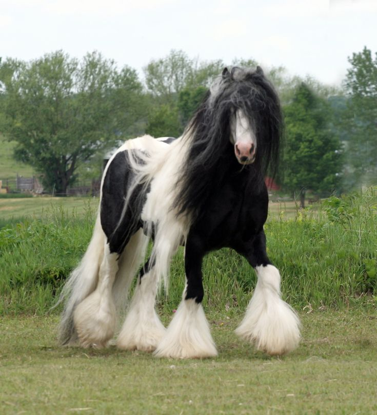"""#8. The Friesian-Gypsy Vanner Crossbreed from """"These 10 Rare And Beautiful Horses Are Like Nothing You've EVER Seen!"""""""