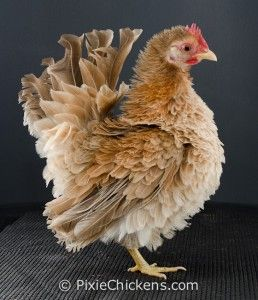 """Twinkie"" a frizzled Serama hen; she's just adorable!"