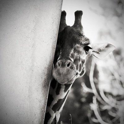 GiraffeCute Giraffes, Black White Photography, Baby Giraffes, Peek A Boos, Beautiful, Creatures, Adorable, Things, Funny Animal