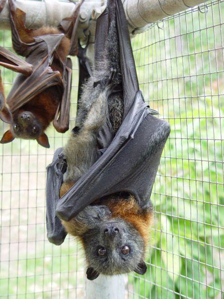 I want a pet bat.