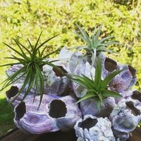 Barnacle Planter with 3 Air Plants