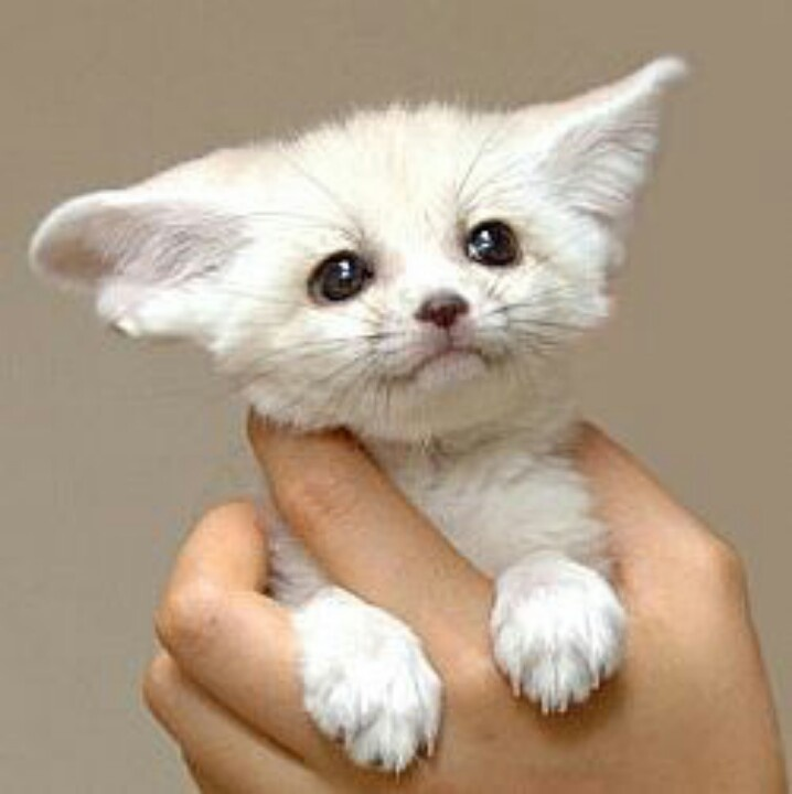 Fennec hare hoax - photo#52