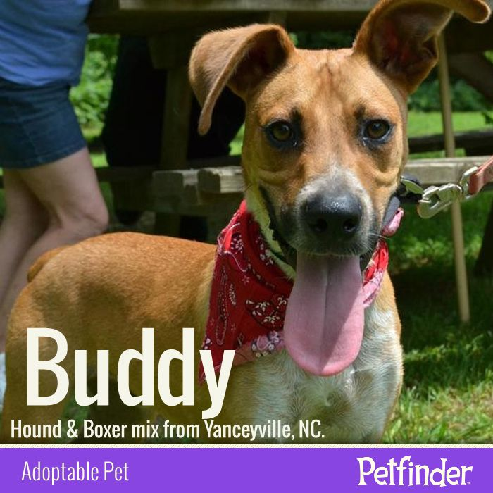Buddy's ears are perked for finding love and a new home! Click through to learn more about this Hound  Boxer mix.