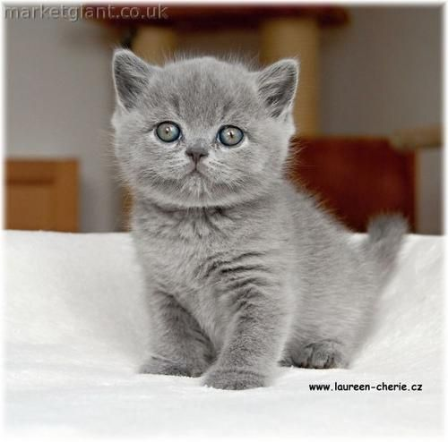 british shorthair kitten - if we have to get a cat, I want this kind *wubbies*