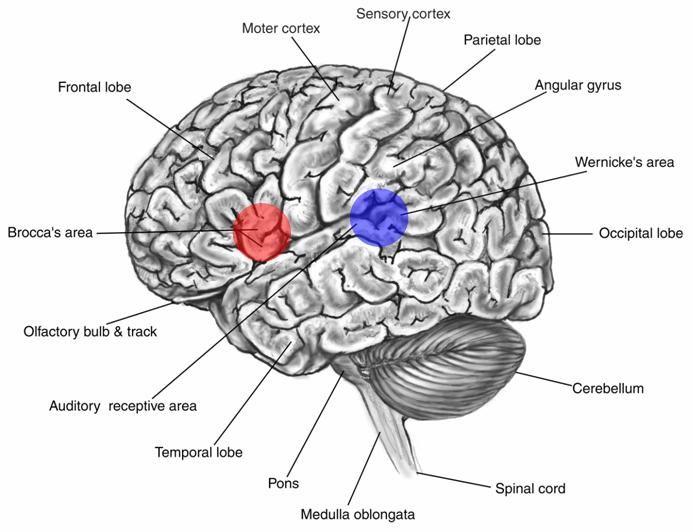 broca zone - Поиск в Google   Brain diagram, Human brain ...