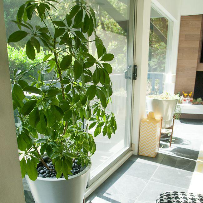 The Community Garden: Schefflera arboricola (Dwarf Umbrella Tree) | Dirt, design and culture.