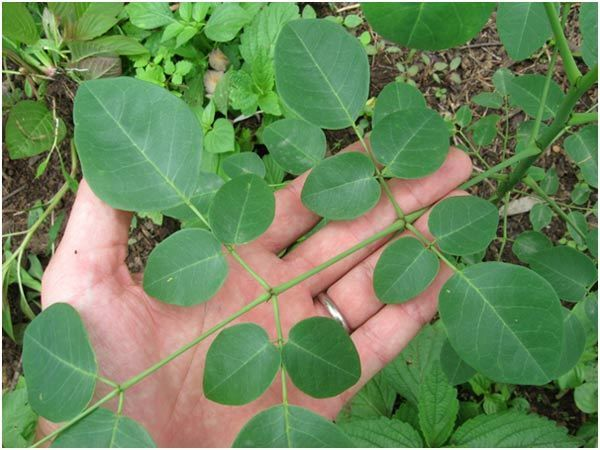 12 Best Benefits and Uses Of Moringa Leaves For Skin, Hair and Health