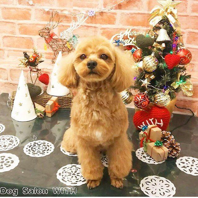 トリミング✂︎🐶 印象変わるなー😆  #dog #mash #マルプーマッシュ #マルプー連合 #マルプー #マルプー犬 #mash #フワモコ部 #ミックス犬同好会 #ミックス犬#instadog#lovemydog#all_dog_japan#love#sweet#maltipoo#マルチーズミックス#トイプードルミックス#マルチーズ#トイプードル#愛犬 #토이푸들#푸들#말티즈