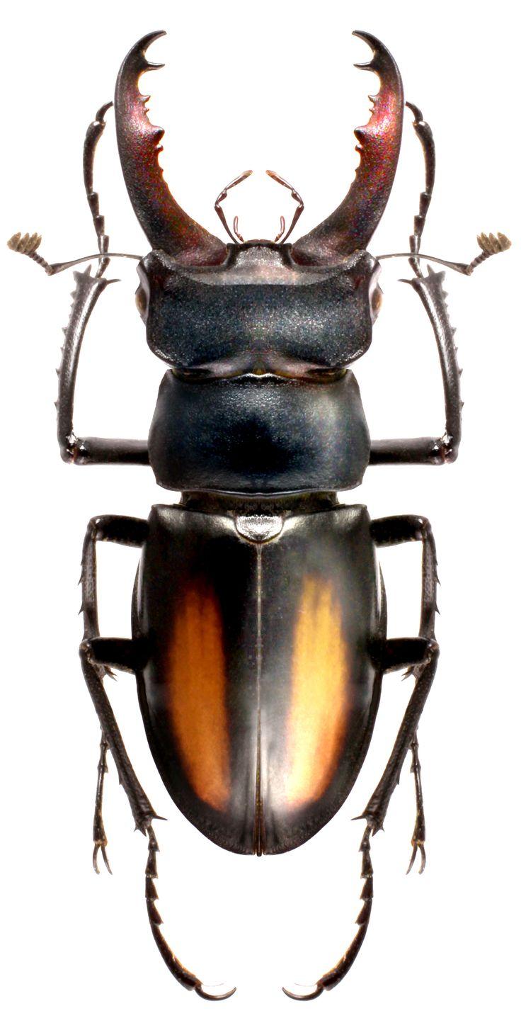 Lucanus parryi é uma espécie de besouro da família Lucanidae. É encontrado na província de Yunnan, na China.