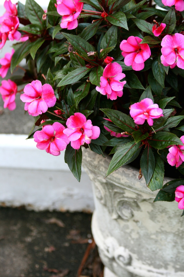 98 best love of impatiens images on pinterest container New guinea impatiens
