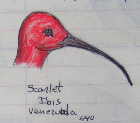 Scarlet Ibis, Venezuela,  color pencil & ball ponit pen, 1993