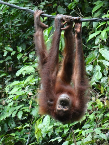 In the jungle, the mighty jungle… Spotting orangutans in the Borneo rainforest | Footsteps of a Wanderer