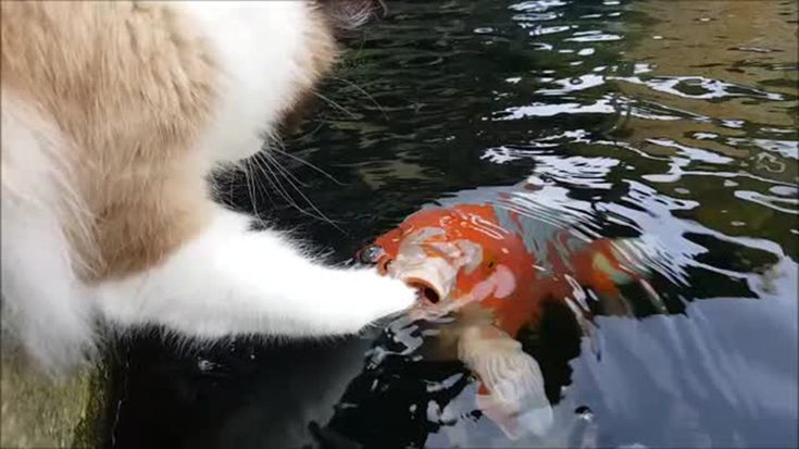 Adorable Cat Timo Loves To Make New Friends With Koi Fish