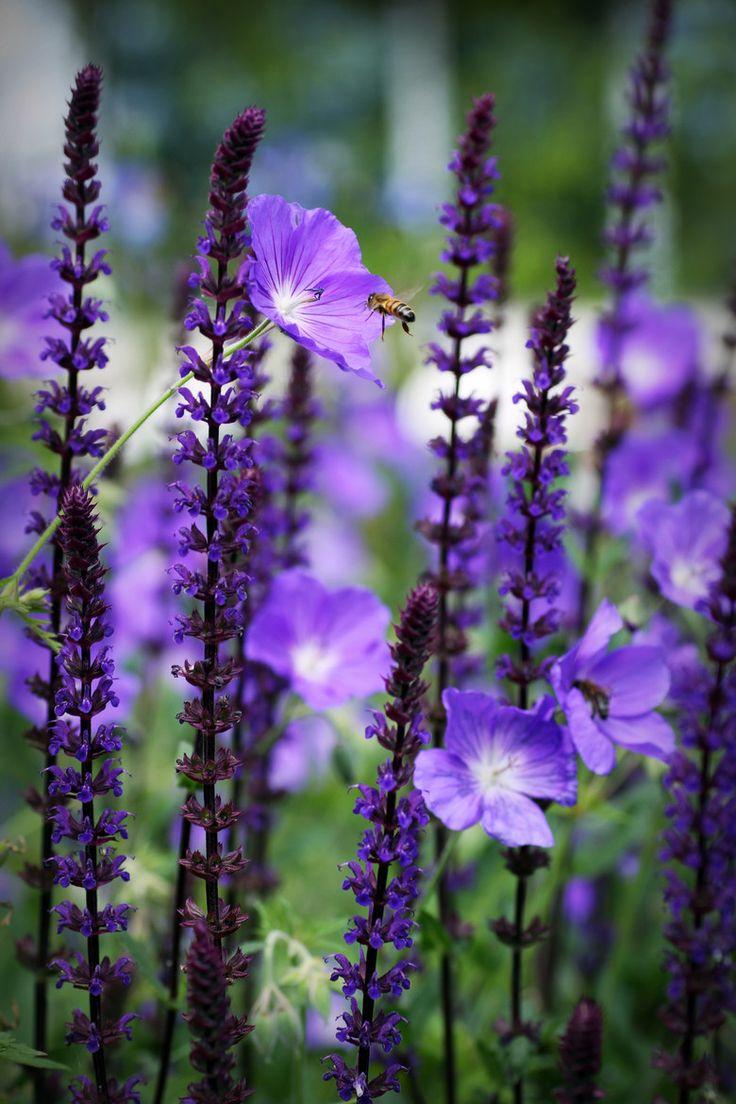 Geranium Rozanne & Salvia nemorosa (via 500px / Summer Flight by George Kirk)