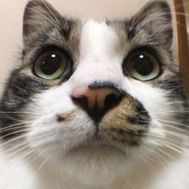 ママに魚眼レンズで撮られて、まん丸顔! えっ?いつもと変わらない!? #魚眼レンズ#魚眼レンズ面白い #魚眼レンズデビュー #丸顔#本当はイケニャン #まんまる#ねこ #猫 #猫胴長部 #猫好きさんと繋がりたい #愛猫 #みんねこ #ねこ部 #にゃんすたぐらむ #家猫#マンチカン足長 #ルーク#cat #catsofinstagram #instacat #catstagram #catstagram_japan #munchkin #iPhone