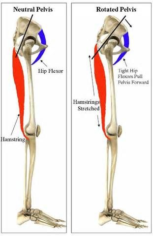 7 best Muscle anatomy images on Pinterest | Muscles, Hip flexors and ...
