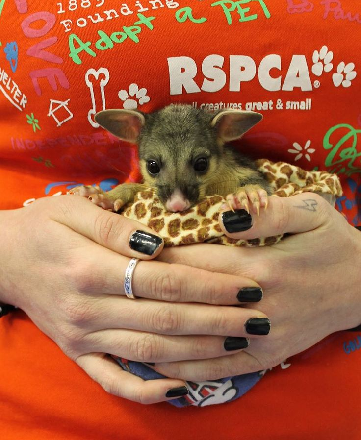 This is Boots, a baby brushtail possum who came to the #RSPCAWildlifeHospital‬. Last Friday morning, a passer-by noticed a group of youths walking along Drysdale St in Mt Ommaney lashed out at the baby possum, kicking him into the gutter. Boots started to go into shock with abdominal bleeding and damage to his lungs. He was given pain relief and antibiotics and is now in the hands of a wildlife carer. Please contact 1800 852 188 if you know the culprits or witnessed the act.