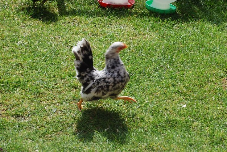 1000 Ideas About Funny Chicken Pictures On Pinterest: 1000+ Ideas About Chicken Runs On Pinterest