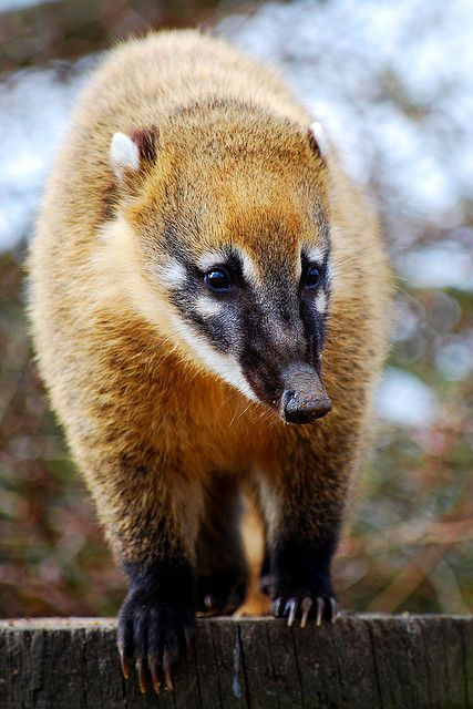 Coatimundi. A friend of mine in grade school had one as a pet. Reminded me so much of a Raccoon in the way it was always getting into everything. Fun pet to have around.
