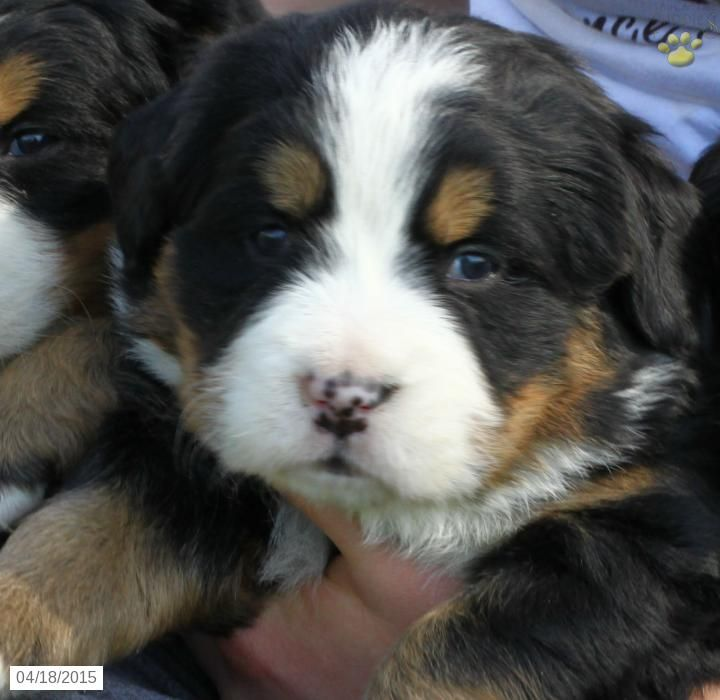 Bernese Mountain Dogs For Sale In Lancaster Pa