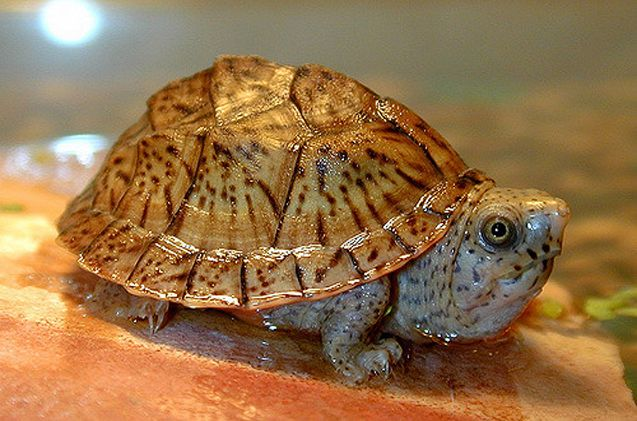 The Loggerhead Musk Turtle is one of several Musk Turtle species.
