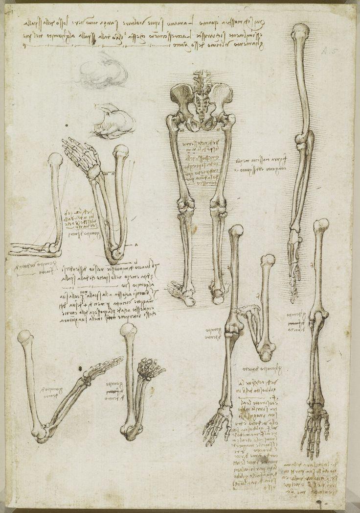 Leonardo da Vinci (Vinci 1452-Amboise 1519) - Recto: The bones of the arm and leg. Verso: The surface anatomy of the shoulder