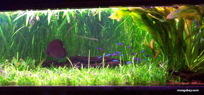 10 best images about angel biotope on pinterest photo for Amazon fish tank
